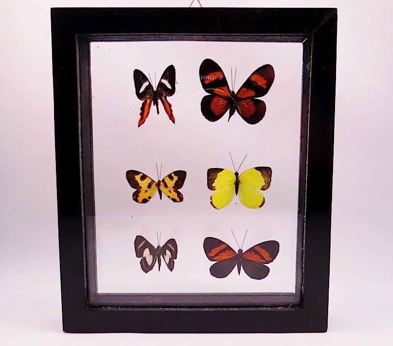 webButterflies Peru (4)
