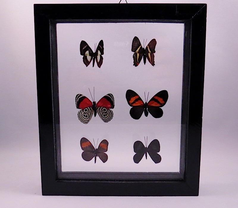webButterflies Peru (5)