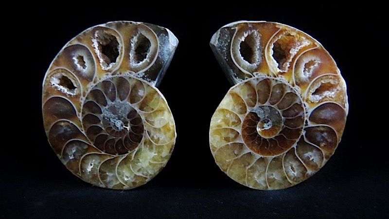 webFossil Ammonite Pair  Medium  350 - 400 Million Yrs Old  Madagascar