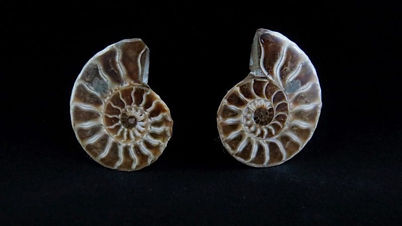 webFossil Ammonite Pair Small  350 - 400 Million Yrs Old  Madagascar (2)