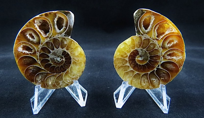 webFossil Ammonite Pair Small  350 - 400 Million Yrs Old  Madagascar