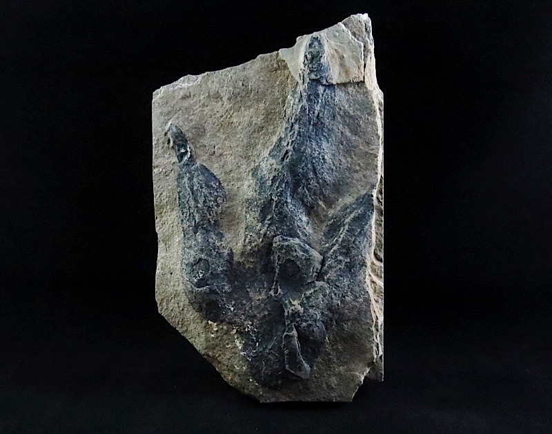 webFossil Dinosaur Track - Grallator 200 Million Yrs Old  6 Inches Tall Massachusetts
