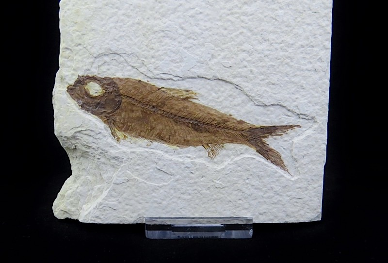 webFossil Fish Wyoming 50 Million Yrs Old