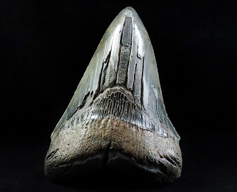webFossil Megalodon Giant White Shark Tooth 4 Inches 4 half - 15 Million Yrs Old