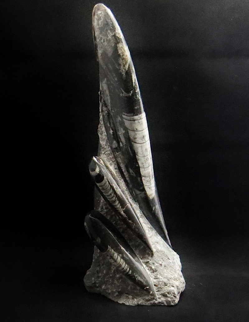webFossil Orthoceras  Tower 9 Inches Tall 400 - 450 Million Yrs Old Morocco 2