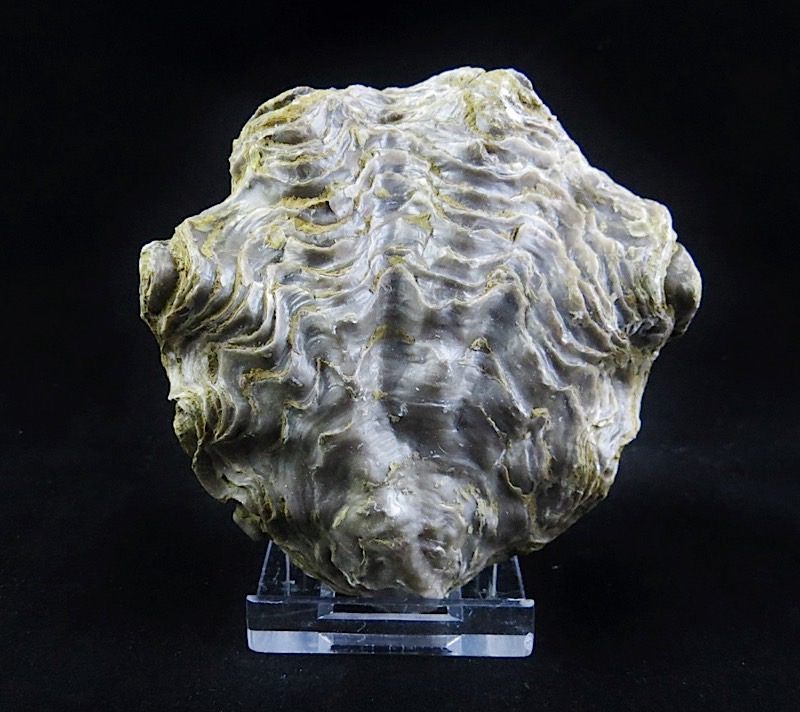 webFossil Oyster       5 - 24 Million   Yrs Old Peru