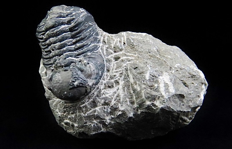 webFossil Trilobite      450 -500 Million Yrs Old Morocco